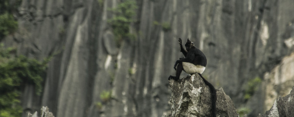Delacour's Langur at Van Long