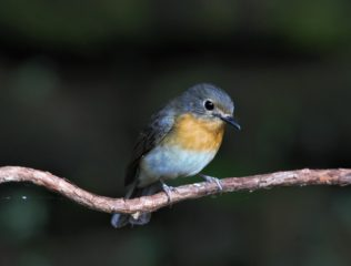 Hainam Blue Flycatcher